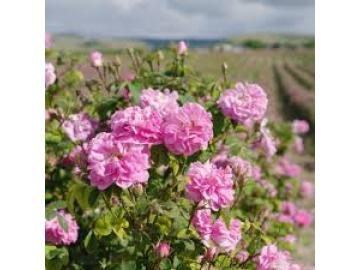 Làm sao để sản xuất được nước hoa hồng thực sự chất lượng?