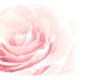 Hoa Hồng Damask (rosa damascena) - Nữ hoàng của của các loài hoa hồng